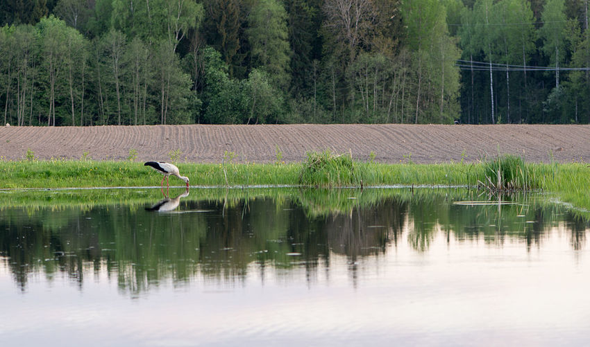 Stork drinking water in calm lake