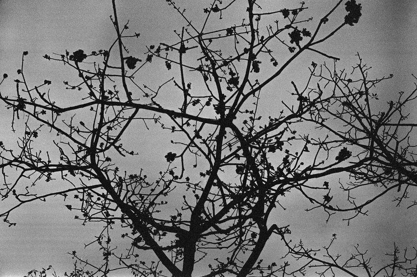 Bare Tree Black Black And White Blackandwhite Branch Cotton Cotton Tree EyeEm EyeEm Gallery EyeEm Nature Lover Eyeemphotography Kodak Leica Monochrome Nature Nature No People Plant Tree Tri-X Landscape