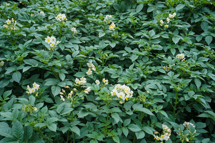 potato garden, Mount Bromo. Plant Plant Part Growth Leaf Flowering Plant Green Color Beauty In Nature Flower Freshness Nature Full Frame No People Day High Angle View Vulnerability  Fragility Outdoors Backgrounds Close-up Park Herb Flower Head Flowerbed Potato Potatoes