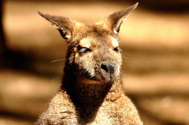 Kangoroo Animal Animal Body Part Animal Head  Animal Themes Mammal No People One Animal