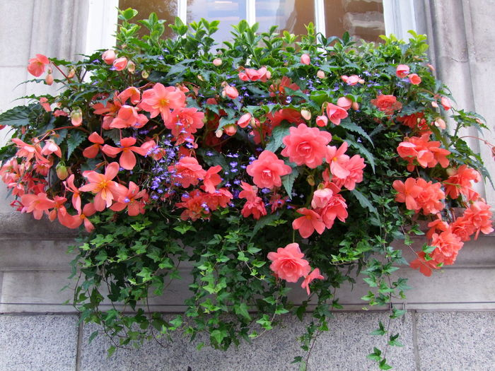 Flowering Window Box, Chelsea Town Hall Chelsea Composition GB Ivy Leaves Kings Road London Plants Beauty In Nature Colourfull Flowers Fragility Freshness Full Frame Growth Leaves No People Outdoor Photography Pink, Blue And Green Colour Red, Blue And Green Colour Town Hall Uk Window Basket