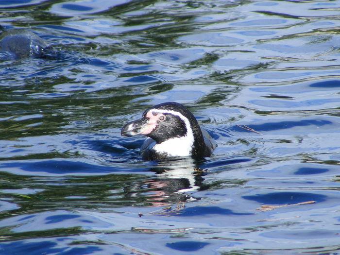 Animal Head  Beauty In Nature Humboldt Penguin Nature Penguin Penguins Swimming Water Water Bird