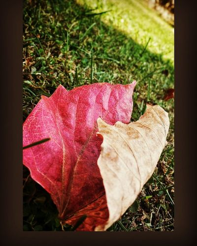 Chinar Leaf 🍂 Two Faced !  Dry Leaf On Green Grass Nature Photography Outdoor Beauty Beauty In Nature Fall