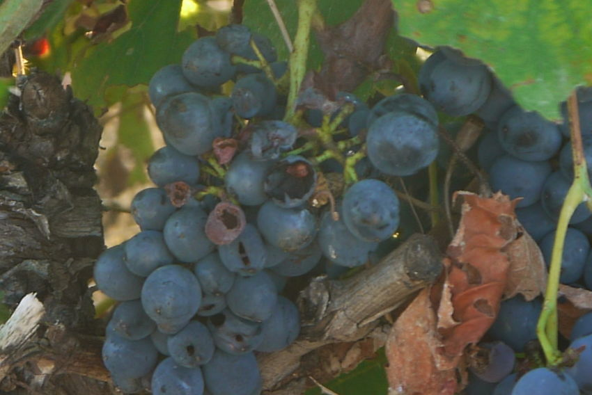 Bunches Of Grapes Day France Grapes Grapes 🍇 Growth Knarled Nature No People Outdoors Vines Vineyard Vineyards