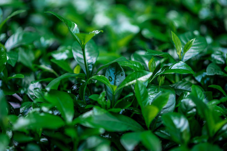 Green day Plant