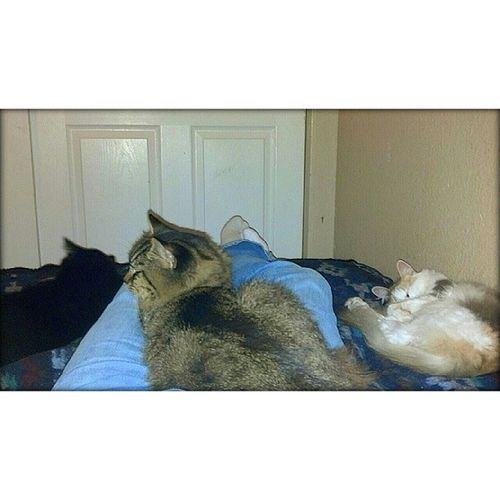 The view from my lap. From left to right....Stanley Gunner & LuLu . Life is not complete without Cats Furbabies Meow Kitty Ilovecats Hashtagaddiction Crazycatlady Picoftheday Pictureoftheday Photooftheday Pixlromatic Portorchardwashington DroidRazr