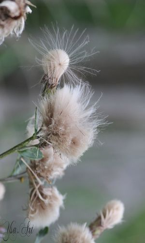 Beauty In Nature Close-up Cotton Plant Day Flower Flower Head Focus On Foreground Fragility Freshness Growth Nature No People Outdoors Plant Softness Uncultivated