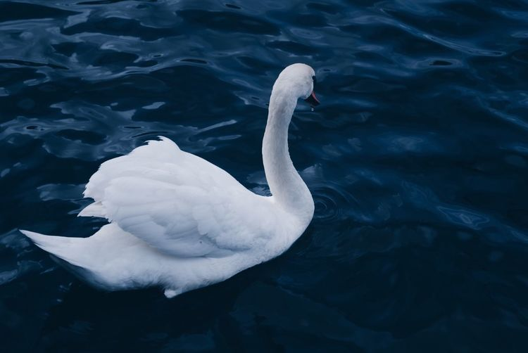 Swan Animal Themes Animals In The Wild Water Lake Bird One Animal Swan Animal Wildlife White Color Day Nature Swimming High Angle View No People Waterfront Outdoors Beauty In Nature Close-up