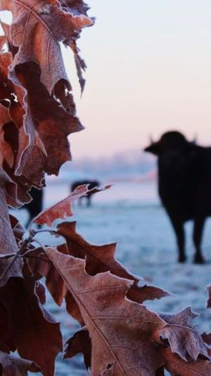 One Animal Bull Bulls Animals Animal STIER Outdoors Cold Temperature Leaf 🍂 Leaf Winter Cold Days Cold Winter ❄⛄ Dawn Of A New Day