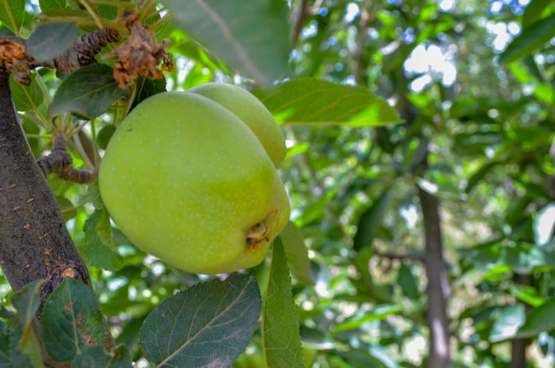 Close-up of fruit growing on tree
