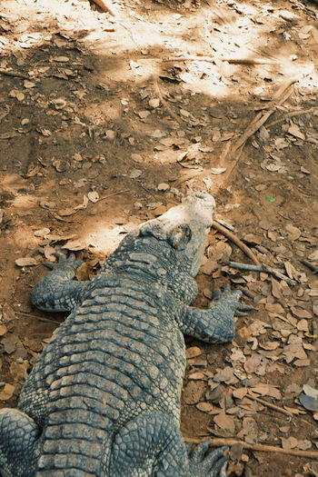 Animal Wildlife Reptile Animals In The Wild Animal Themes Animal Vertebrate One Animal Nature No People High Angle View Day Lizard Crocodile Outdoors Land Solid Close-up Field Rock Animal Scale