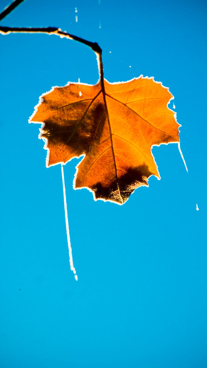 Low Angle View Of Dry Maple Leaf Against Clear Blue Sky