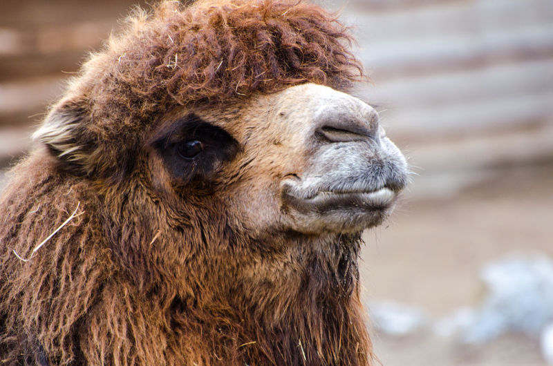 Camel in Zoo Zürich Eye Em Nature Lover Zoo Zürich Agriculture Alpaca Animal Body Part Animal Hair Animal Head  Animal Themes Close-up Day Domestic Animals Focus On Foreground Livestock Looking At Camera Mammal Nature No People One Animal Outdoors Portrait