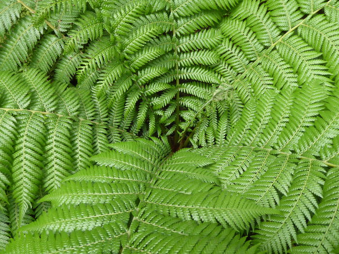 Berlin Botanical Gardens Botanical Themes Fern Plant From Above Patterns In Nature Perspectives On Nature Backgrounds Beauty In Nature Botany Close-up Designs In Nature Fern Fragility Freshness Full Frame Green Color Growth Leaf Lush Foliage Lush Leaves Nature No People Plant