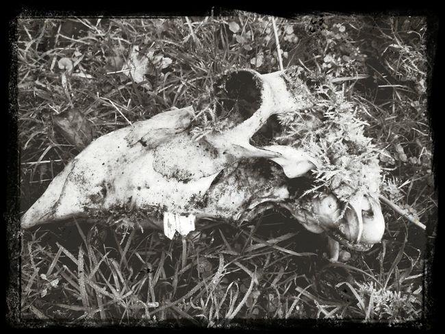 Capa Filter Sheep Skull Death
