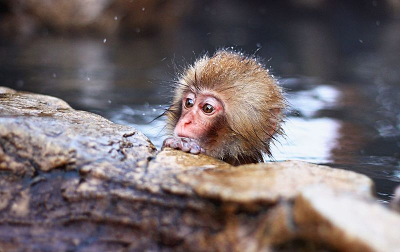 Monkey see Animals In The Wild Animal Themes Japanese Macaque Water Monkey Mammal Animal Wildlife Outdoors Day Nature Cold Temperature Portrait Close-up Japan Nagano Onsen Primate Baby Cute Big Eyes EyeEmNewHere Snow Bath