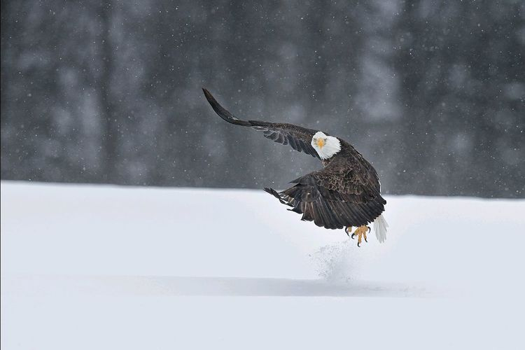 Open Edit Bald Eagle High Getting Inspired