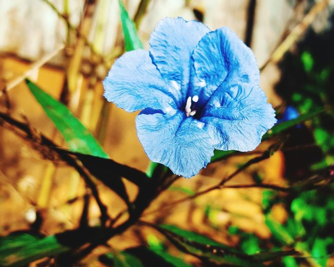Nature Beauty In Nature Plant Flower Flower Head Blue Close-up Flor Azul