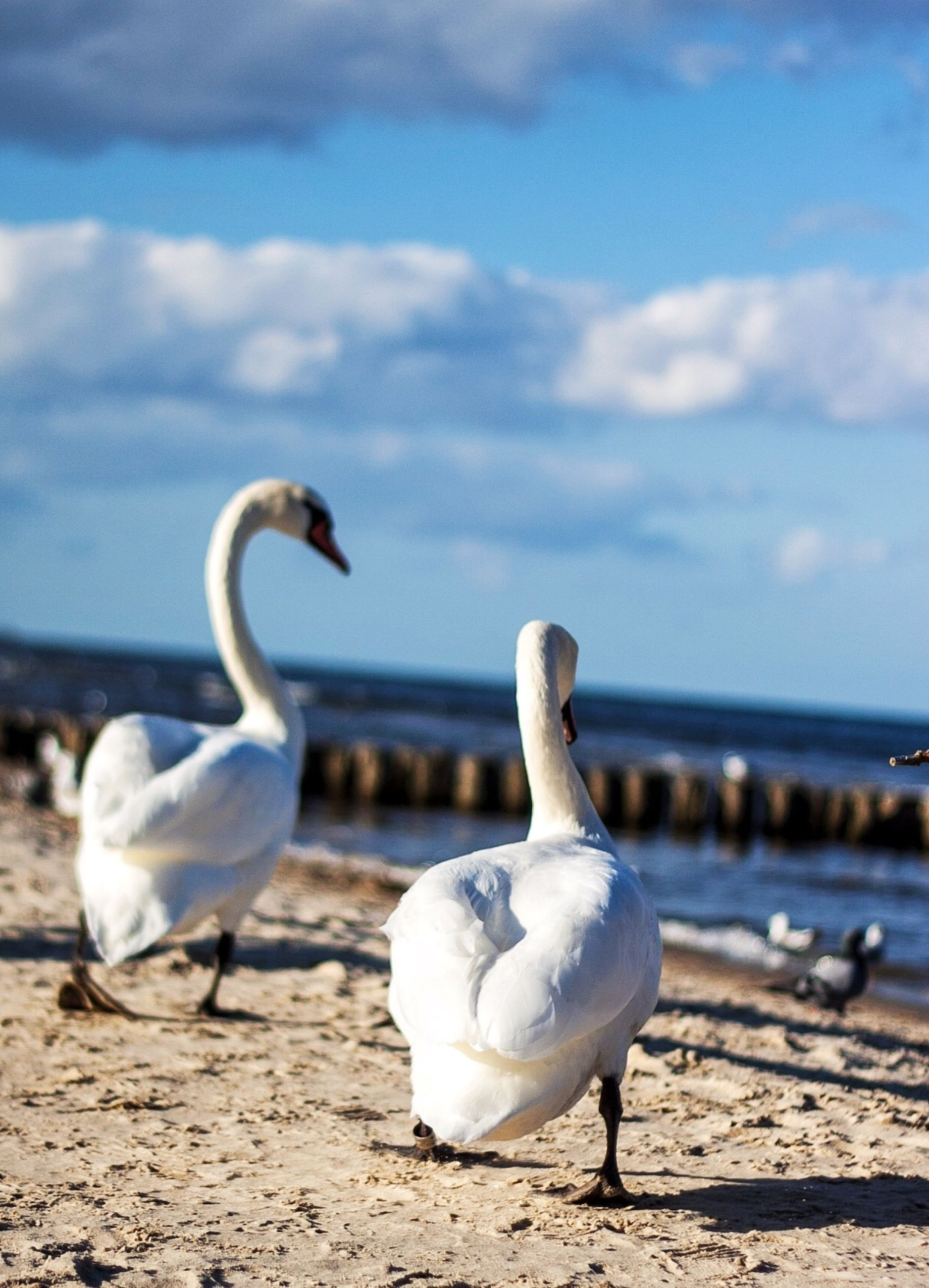 bird, animal themes, animals in the wild, beach, seagull, wildlife, water, sea, shore, sand, sky, nature, swan, white color, sea bird, beauty in nature, day, horizon over water, zoology, side view