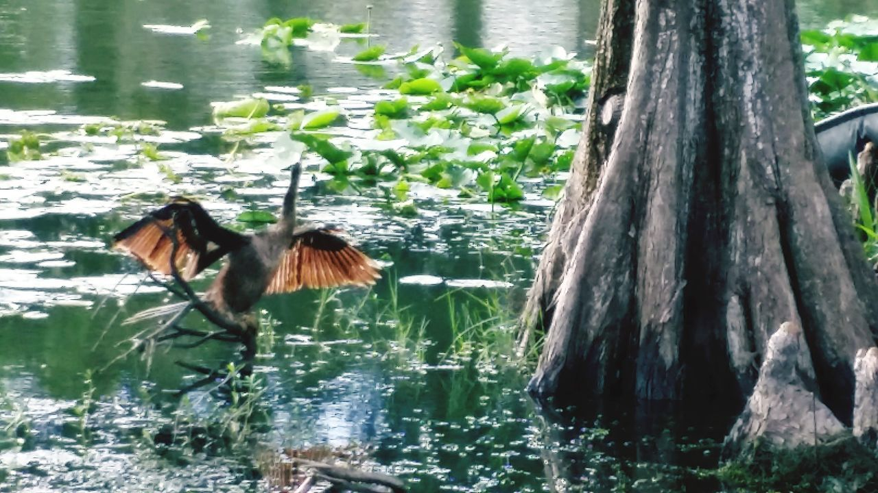 animal themes, water, nature, one animal, lake, tree, waterfront, tree trunk, day, outdoors, no people, animals in the wild, beauty in nature, spread wings, bird, mammal