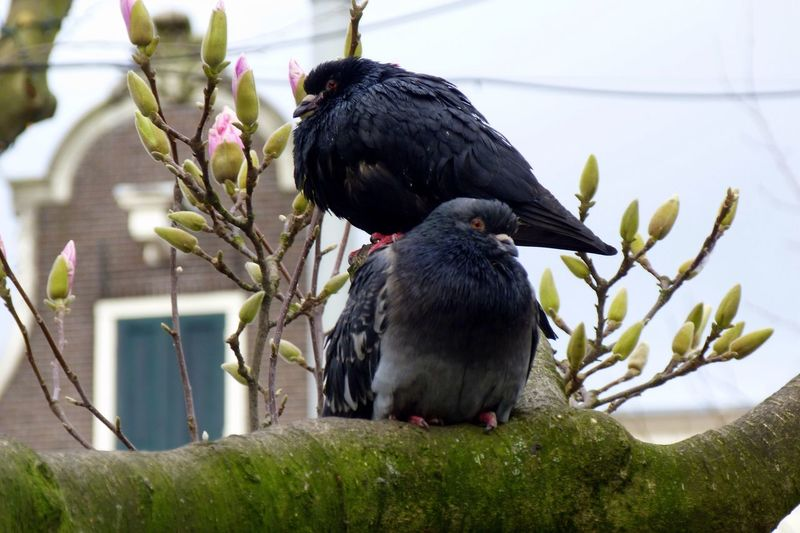 Low Angle View Of Pigeons On Magnolia Tree