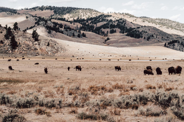 Flock of bisons on field