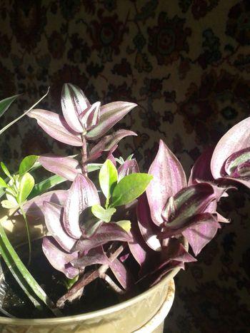 Spiderwort Purple Flower Home Sweet Home Homeflowers Eyeemphotography