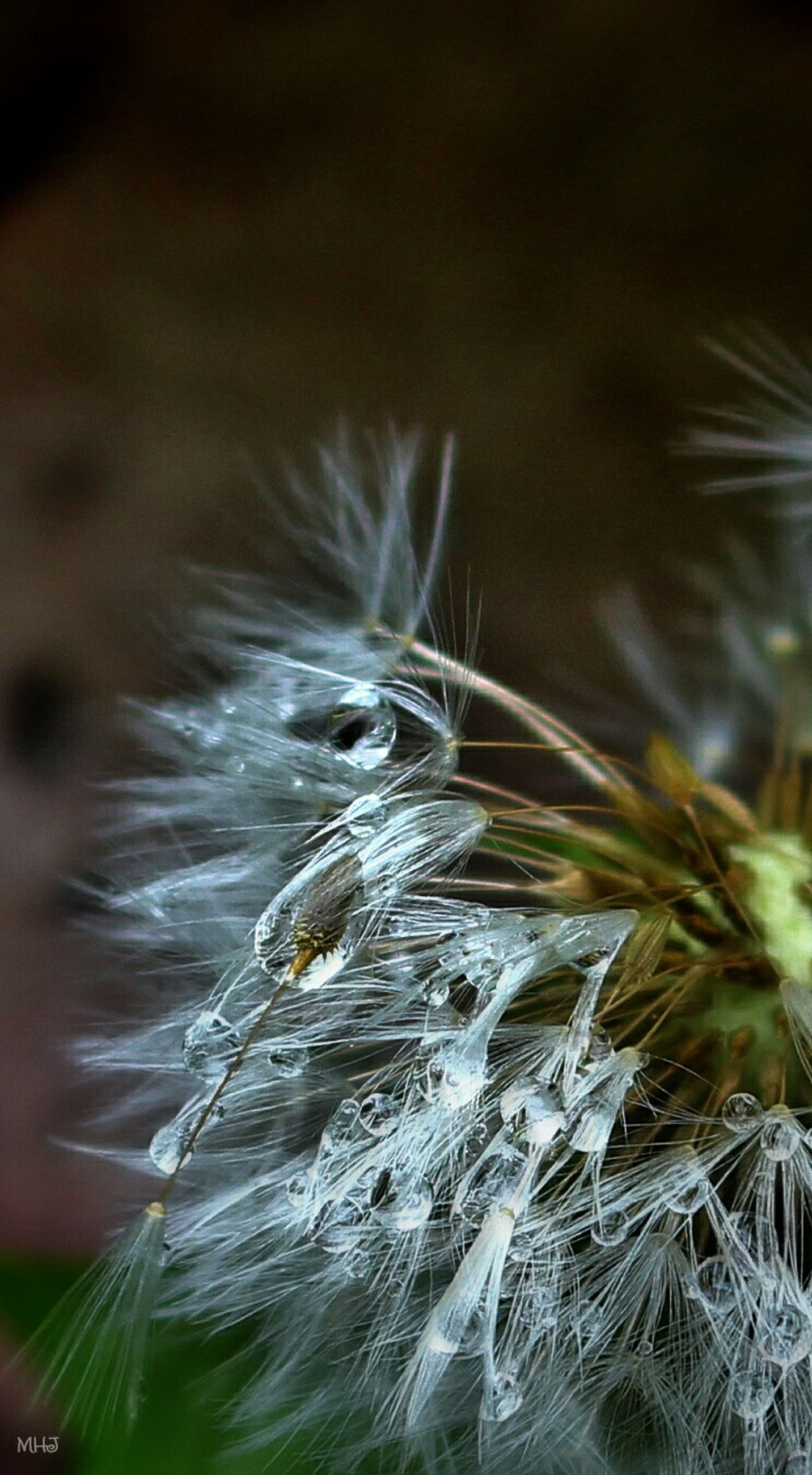 close-up, plant, growth, softness, nature, beauty in nature, fragility, focus on foreground, dandelion, day, outdoors, tranquility, scenics, freshness, uncultivated, green color, studio shot, green, no people