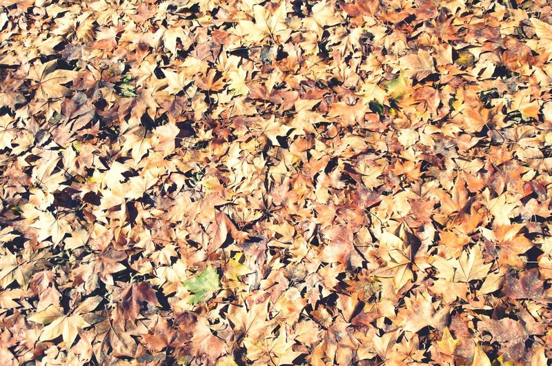 Carpet of autumn laves Leaf Autumn Change Dry Leaves Nature Abundance Full Frame Fallen Maple Leaf Beauty In Nature Large Group Of Objects No People Outdoors