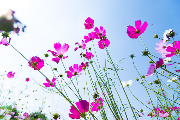 Colorful Cosmos and Blue Sky Beauty In Nature Clear Sky Close-up Cosmos Flower Day Flower Flower Head Flowering Plant Fragility Freshness Growth Inflorescence Low Angle View Nature No People Outdoors Petal Pink Color Plant Purple Sky Vulnerability
