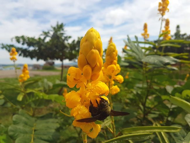 Eyeem Philippines Animal Themes Beauty In Nature Bee Blooming Close-up Day Flower Flower Head Focus On Foreground Fragility Freshness Growth Insect Leaf Nature No People Outdoors Petal Plant Sky Tree Yellow