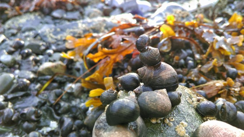 A Stack of Snails Snails Snail🐌 Cute Oceanlife Ocean Nature Beach Photography Tide Pool Sea Creatures Beauty In Nature FUNNY ANIMALS Perspectives On Nature