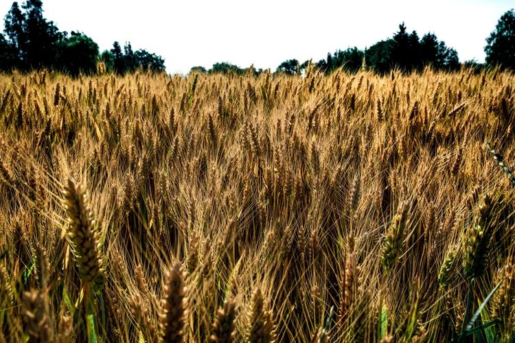 Eine Menge Doppelkorn ... Plant Field Growth Land Landscape Agriculture Crop  Beauty In Nature Rural Scene Tranquility Cereal Plant Nature Sky Farm Environment Tranquil Scene Day No People Scenics - Nature Wheat Outdoors Stalk Plantation