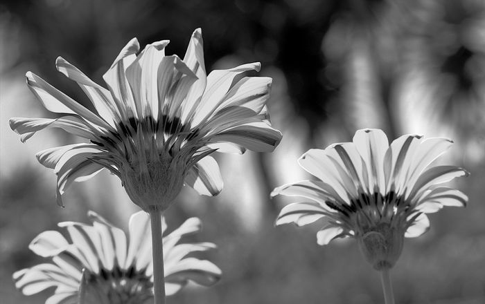 Beauty In Nature Black And White Daisies Black And White Daisy Blooming Blossom Botany Close Up Black And White Close-up Daisies Black And White Closeup Daisies Close Up Daisies Closeup Daisies ♥  Flower Flower Head Focus On Foreground Freshness Growing Growth In Bloom Petal Plant Selective Focus Stem Yellow Daisies Yellow Daisy