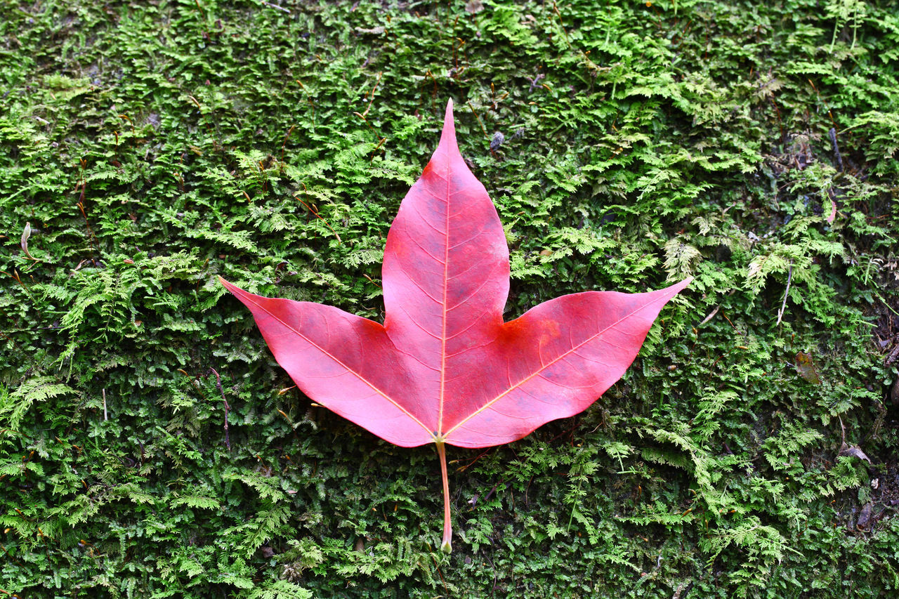 High Angle View Of Maple Leaf On Plant