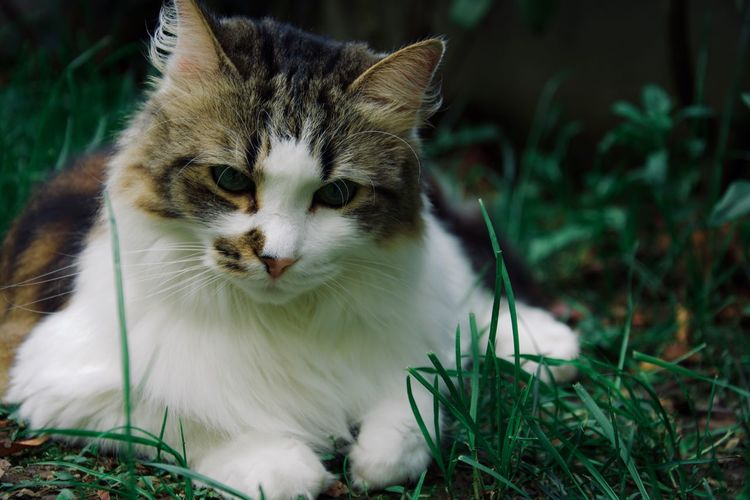 Cat Feline Animal Themes One Animal Pets Domestic Cat Animal Domestic Mammal Domestic Animals Vertebrate Grass Plant Land Field No People Whisker Nature Close-up Looking