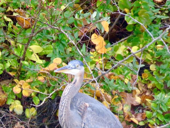 Blue heron close up leafy trees birdwatching birds of EyeEm beauty in nature outdoors animal themes EyeEm nature lover Plant Nature One Animal Day Growth No People