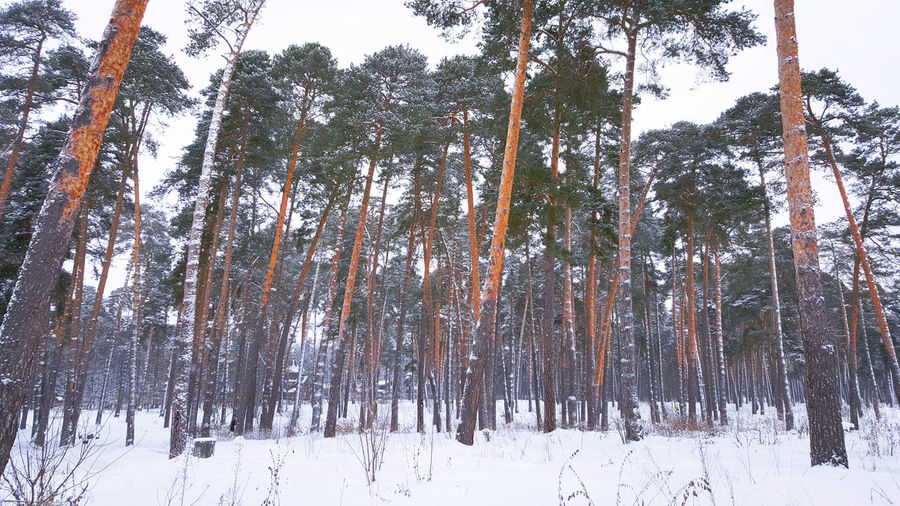 Tree Nature No People Low Angle View Beauty In Nature Day Tranquility Winter Outdoors Backgrounds Sky Pine Tree Pineforest