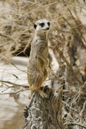 A very watchful meerkat, suricata suricata Alert Animal Themes Animal Wildlife Animals In The Wild Close-up Day Look-out Mammal Meerkat Nature No People One Animal Outdoors Sentry Sitting Suricata Suricata Watchful