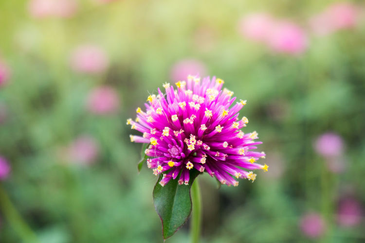 Flowering Plant Flower Vulnerability  Fragility Beauty In Nature Freshness Plant Close-up Petal Flower Head Inflorescence Growth Pink Color Focus On Foreground No People Day Nature Outdoors Purple