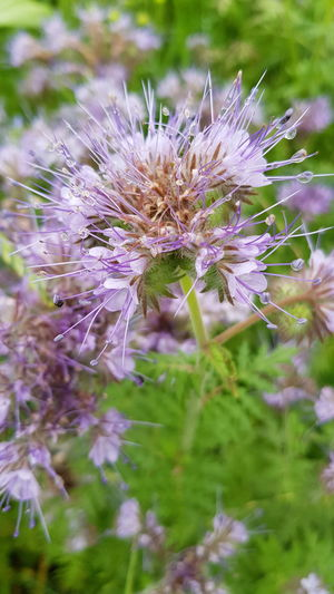Flower Purple Beauty In Nature No People Outdoors Flower Head Phacelia Nature Fragility Plant Uncultivated Close-up Day Growth Freshness First Eyeem Photo