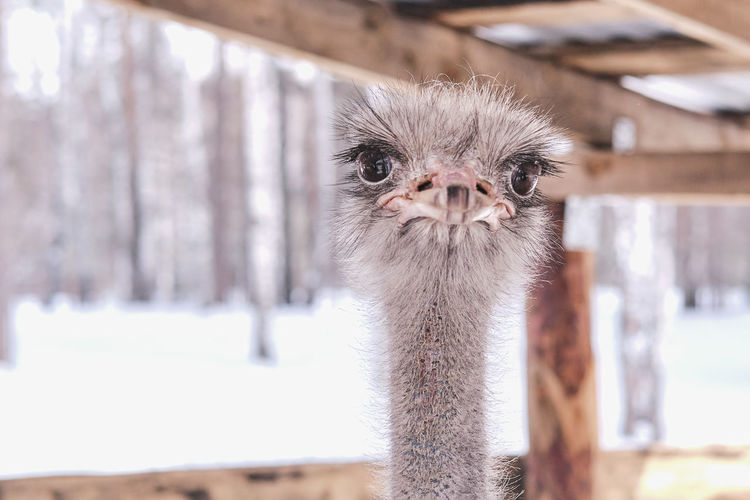 Close-up portrait of a funny ostrich on a farm on a background of winter forest.