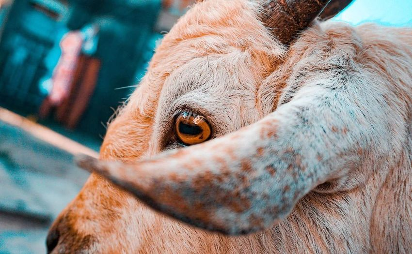 Issa goat pic... Goat Domestic Animals Portrait EyeEm Selects Pets Portrait Close-up Animal Body Part Animal Eye HEAD Animal Ear Eye Animal Hair