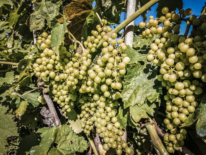 white grapes of