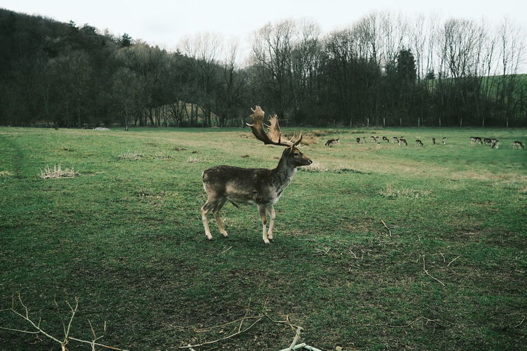 Deer standing in a field