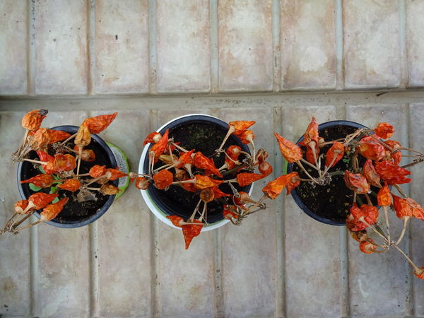 Noeffect Noedit Nofilter Botanical Garden Simply Nature EyeEm Gallery EyeEm The Purist (no Edit, No Filter) Red Hot Chili Peppers Peppers Red Peppers Dried Dried Chillies Red Colors Showcase: February Arrangement Plants Natural Look  Top Perspective Sony Cybershot