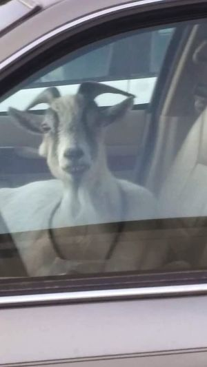 This was taken last summer on a hot day probably close to 90 degrees (give or take a degree or 2) the goat didnt seem to mind sitting in the car with the windows rolled completely up while its owner(s) shopped!! Animal Pets Dog One Animal Animal Themes Domestic Animals Mammal Car Day No People Outdoors Close-up