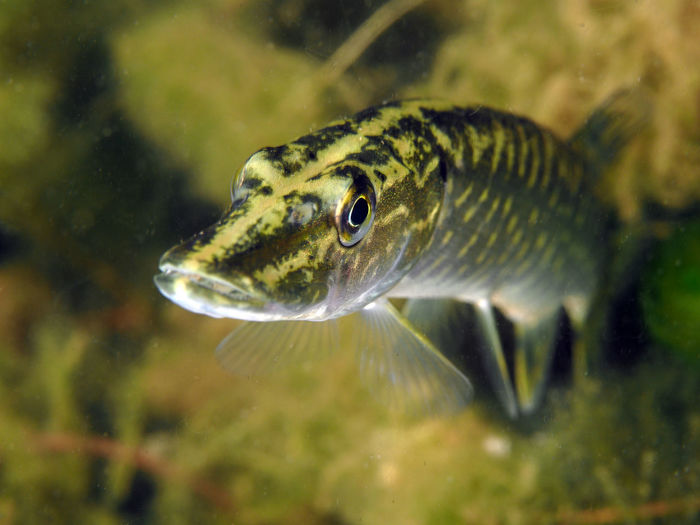 Hecht Freshwater Fish Nature Fish No People Close-up Underwater Water Vertebrate Animal One Animal Animals In The Wild Animal Wildlife Animal Themes Lake Divingphotography Hecht Pike Northern Pike Esox Lucius Esox Swimming Transparent Animal Eye