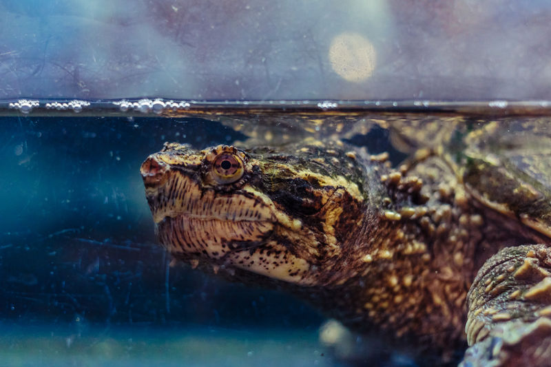 Close-Up Of Snapping Turtle In Fish Tank