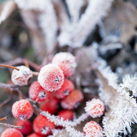 Hokkaido Japan 凍えるナナカマド